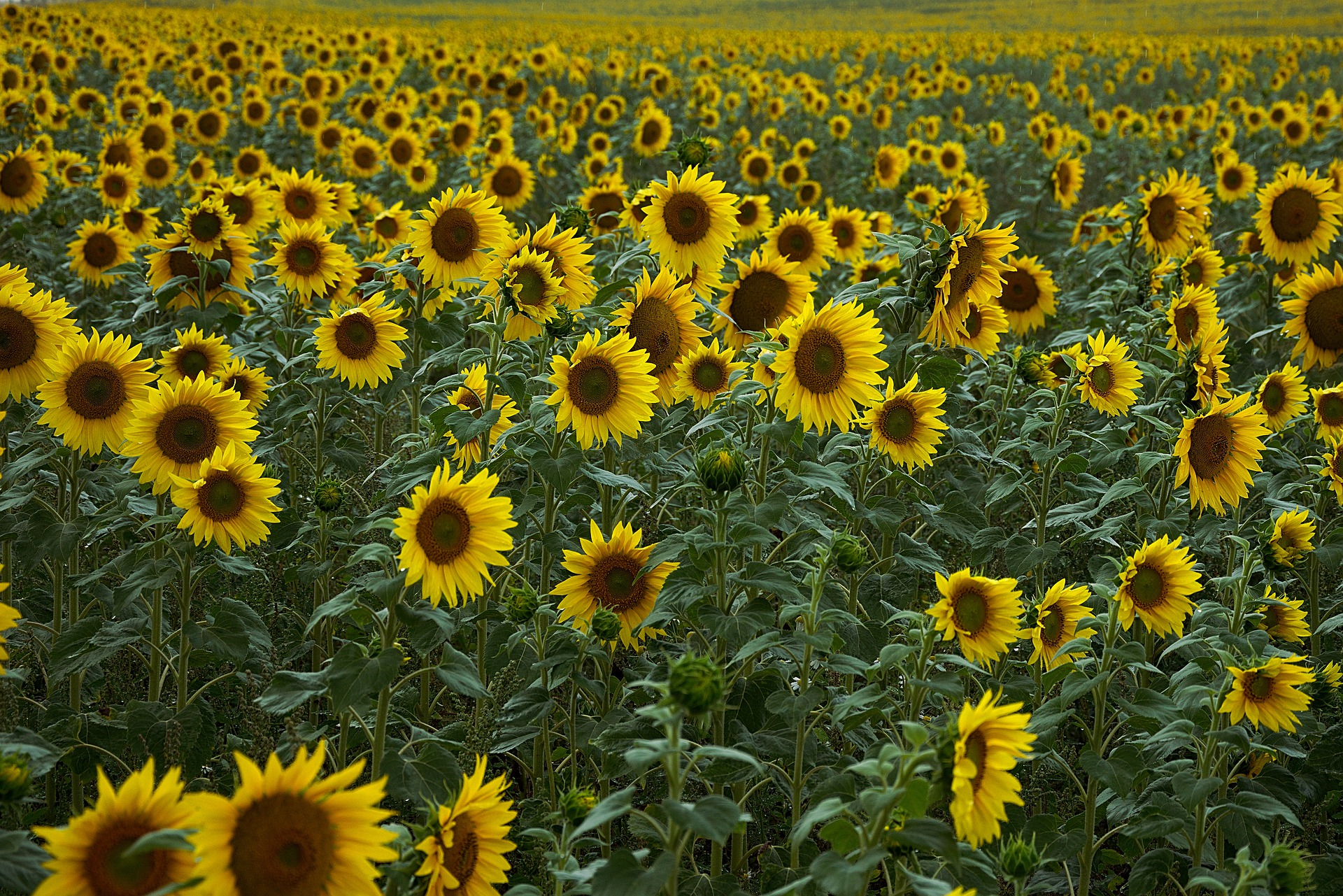 sunflower-4386505_1920